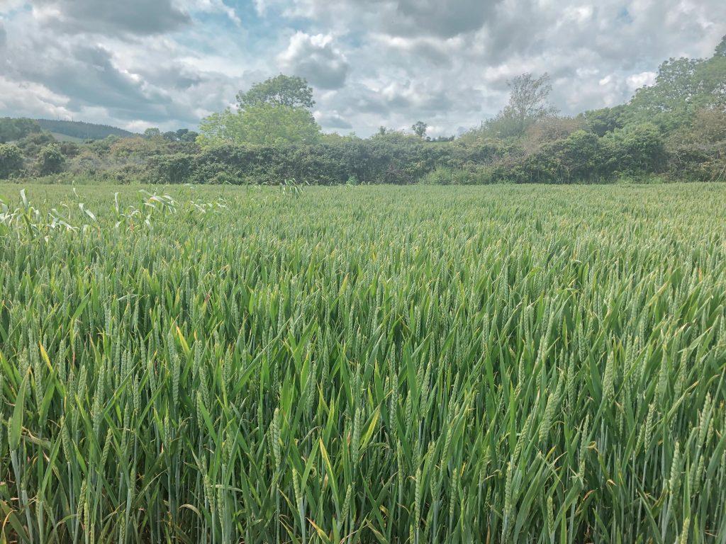 Corn Beds, Bray to Greystones Walk, Wicklow, Ireland